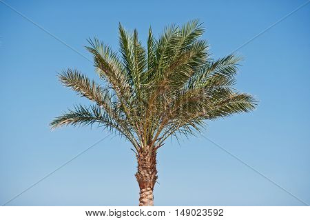 The Top Of One Palm Tree Background Blue Sky