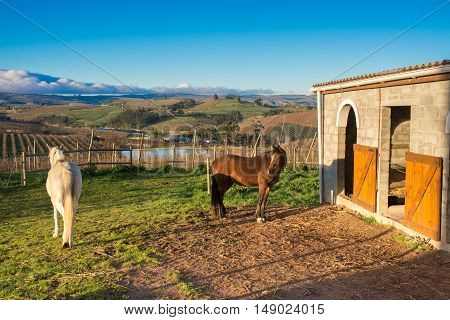 Two horses one white one brown stand in front of a stunning apple farm and mountain landscape by the stables early in the morning.