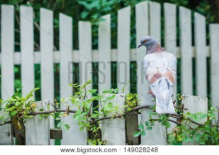 The dove sitting on a white wooden fence in the garden
