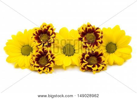 beautiful chrysanthemum flower isolated on white background