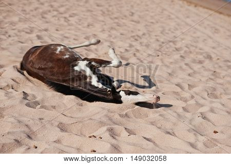 Small Horse On The Beach Playing On Sand