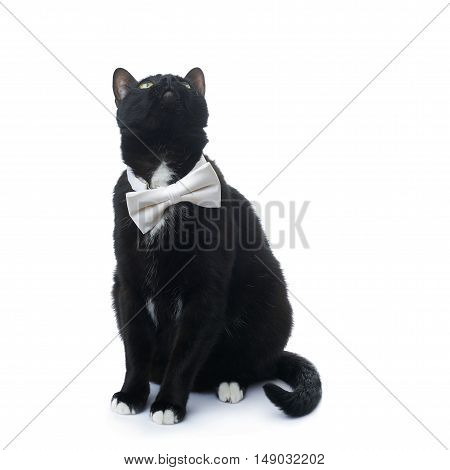 Sitting on the floor black cat with bow tie isolated over the white background