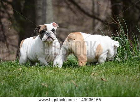two english bulldog puppies playing outside in the grass
