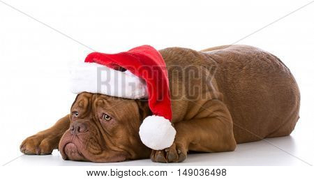 dogue de bordeaux wearing santa hat on white background