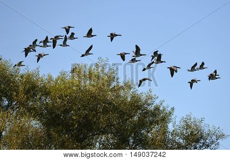 Canada geese flying over tree tops UK