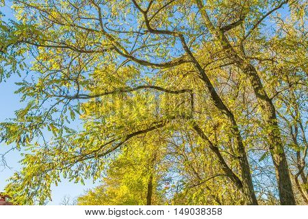 Branches of an old acacia trees with autumn leaves on a sunny windy day