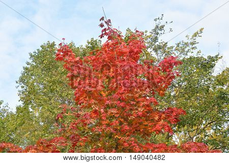 Maple tree with red leaves in autumn.