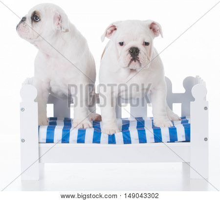 two adorable english bulldog puppies on a white wooden bench