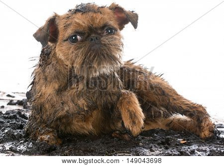 dirty muddy brussels griffon isolated on white background