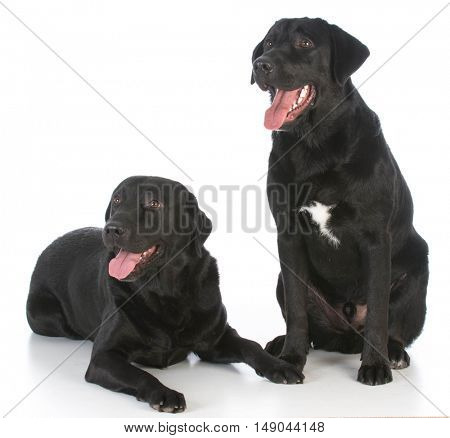 two black labrador retrievers on white background