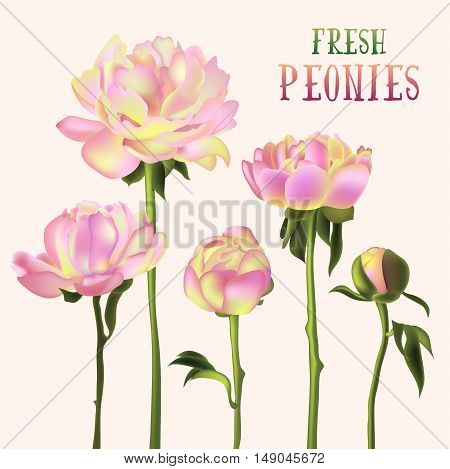 Fresh peony flowers isolated on white vector illustration