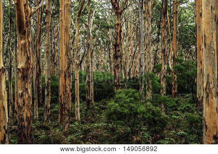 View inside forest of Australian gum trees