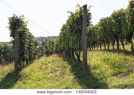 View of vineyard rows in Langhe Region, Italy
