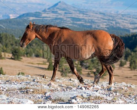 Wild Horse Dun Buckskin Mare on Tillett Ridge above Teacup Bowl in the Pryor Mountains in Montana - Wyoming United States