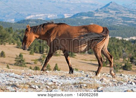 Wild Horse Dun Buckskin Mare on Tillett Ridge above Teacup Bowl in the Pryor Mountains in Montana - Wyoming US of A