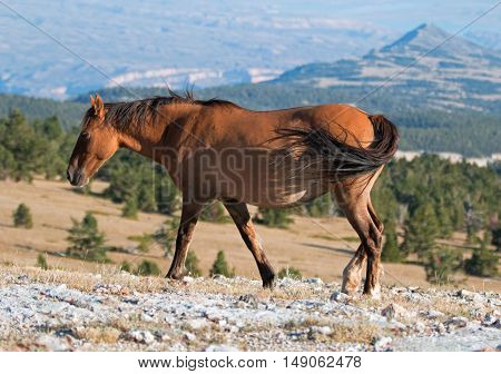 Wild Horse Dun Buckskin Mare on Tillett Ridge above Teacup Bowl in the Pryor Mountains in Montana - Wyoming US