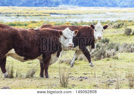 two livestock cow in new zealand farm