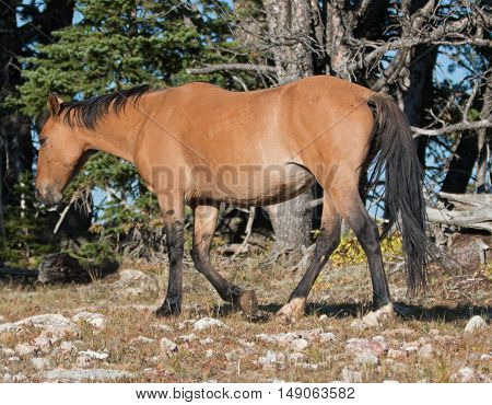 Wild Horse Dun Buckskin Stallion on Tillett Ridge above Teacup Bowl in the Pryor Mountains in Wyoming USA