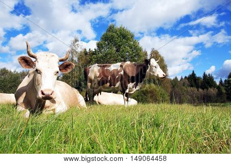 Farming landscape. Cow on green grass against forest and sky