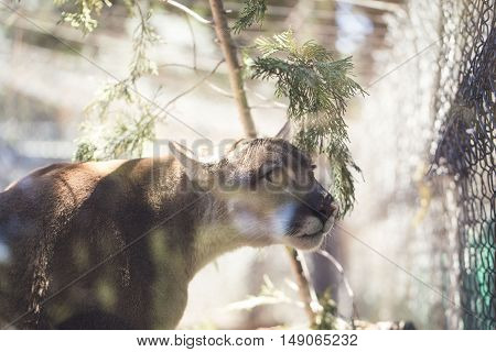 A mountain lion is looking for food.
