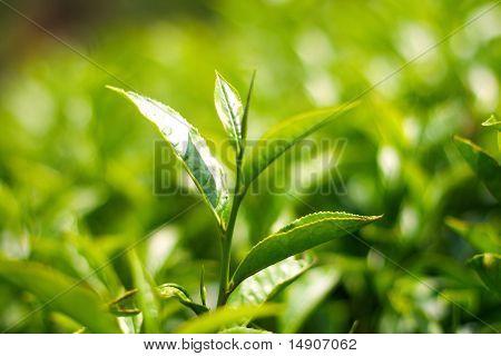 Tea leaf.