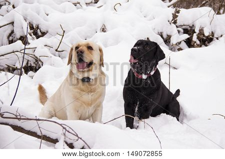 Pale yellow and black Labrador retriever sitting on the snow in the winter forest