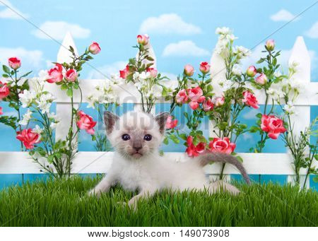Adorable Siamese kitten laying in long grass with white picket fence in background pink roses and white flowers on fence sky background with clouds.