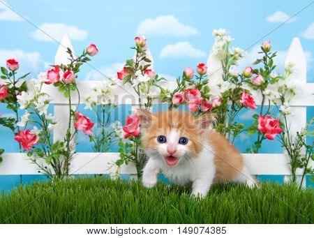 Adorable long haired orange and white tabby kitten standing in long grass with white picket fence in background pink roses and white flowers on fence sky background with clouds.