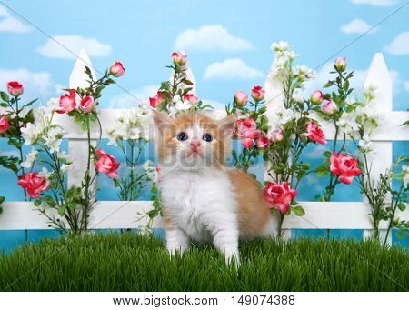 Adorable long haired orange and white tabby kitten standing in long grass looking up with white picket fence in background pink roses and white flowers on fence sky background with clouds.