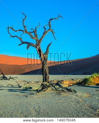 Ecotourism in Namibia, Namib-Naukluft National Park. The bottom of dried lake, with dry trees. Evening, sunset