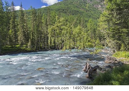 Birch hung over the mountain river. Altai Mountains the Kucherla river. Sunny summer day.