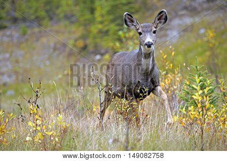 Mule Deer Doe standing in forest clearing, alert