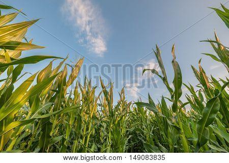 Landscape With Corn Field