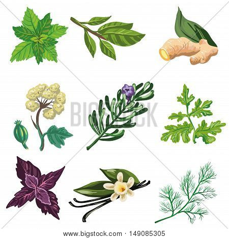 Set of herbal, spice and leaf for cooking food. Organic aroma herbs and condiment: parsley and dill, mint and bay leaf, anise and rosemary, vanilla and ginger, red basil. Vector illustration
