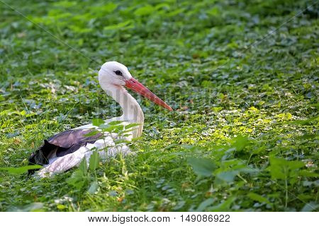 White stork resting in the wild in the forest