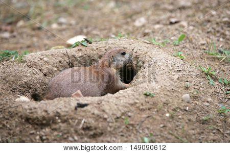 Prairie Dog Goes Inside Its Burrow Dug In The Sandy Soil
