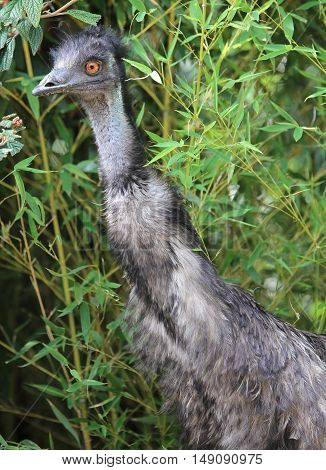 Great Australian Emu With In The Forest
