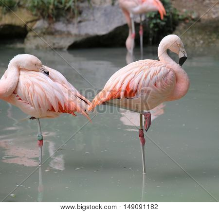 Pink Flamingos On One Leg On The Bank Of The Pond