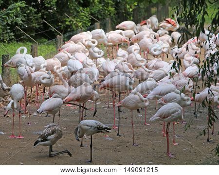 Pink Flamingo Before Migration To The Warm Countries