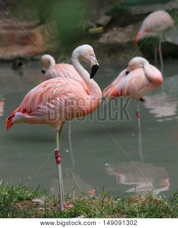 Beautiful Pink Flamingo With Colored Feathers And Long Beak
