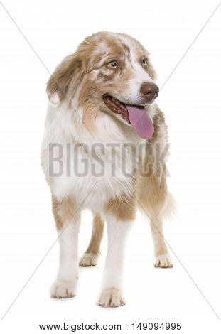 australian shepherd in front of white background