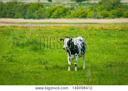 Holstein Friesian Cow On A Green Field