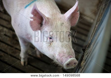 Hairy Pig At A Farm Stable