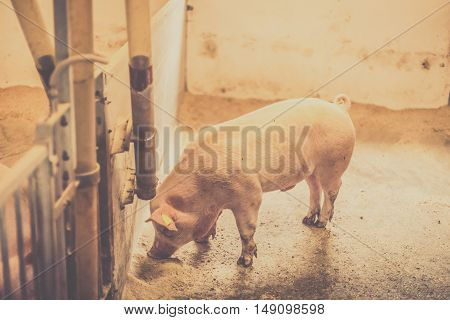 Pig Eating Food In A Bright Stable