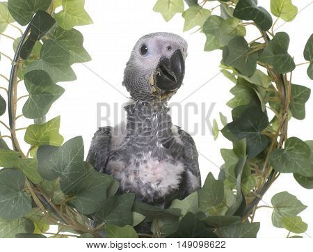 baby gray parrot in ivy in front of white background