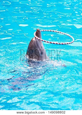 Dolphin With Hoop In Pool At Circus Performance