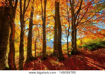 Majestic beech leaves with sunny beams at autumn forest. Dramatic colorful evening scene. Carpathians, Ukraine, Europe.