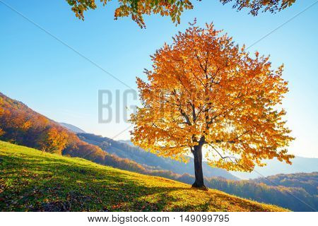 Majestic beech tree with sunny beams at mountain valley. Dramatic colorful evening scene. Carpathians, Ukraine, Europe.