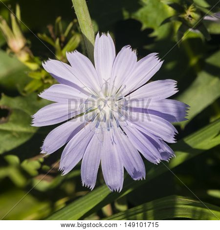Common Chicory Cichorium intybus flower with blurred background macro selective focus shallow DOF