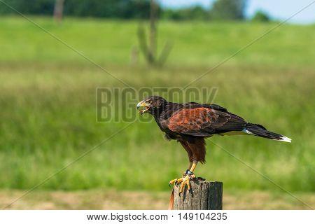 Harris Hawk Sitting On A Wooden Pole